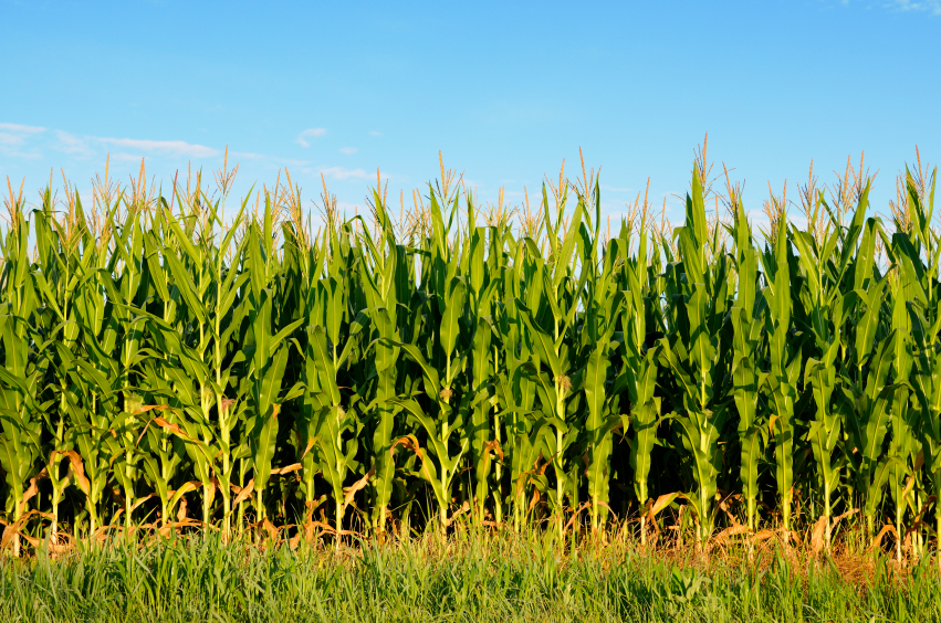 7 food plot crops that will create a feeding frenzy Corn Stalk Clip Art Corn Kernel Clip Art